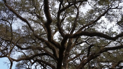 200 Year Old Plantation Tree