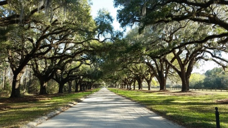 Quarter mile of oaks