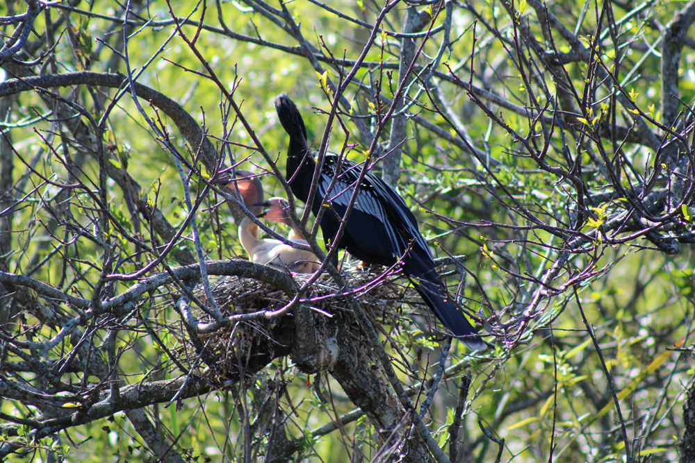 Anhinga Dad and kids
