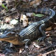 Tiny baby gator up close