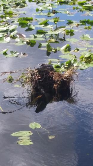Baby Gator Nest