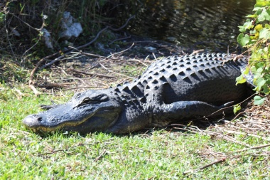 Huge Gator