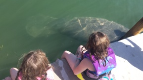 Manatee in the harbor!