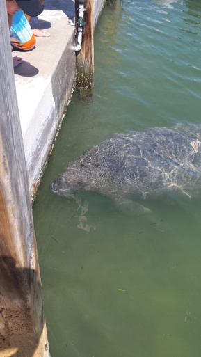 Key West Manatee