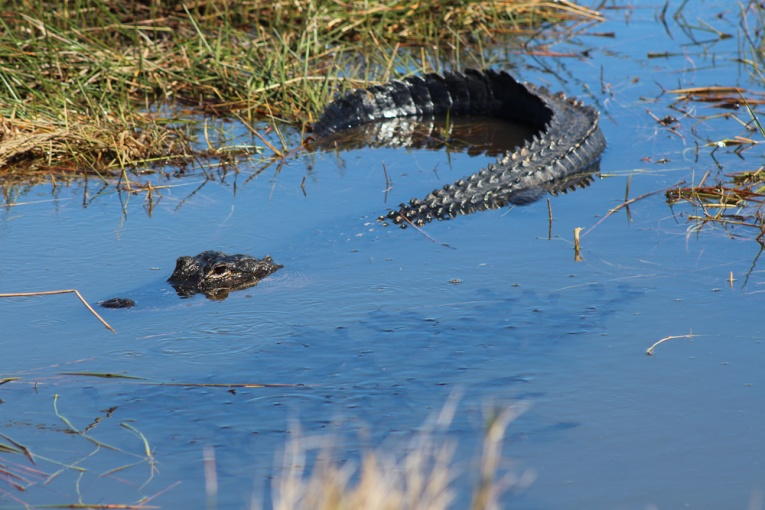 Sneaky Gator