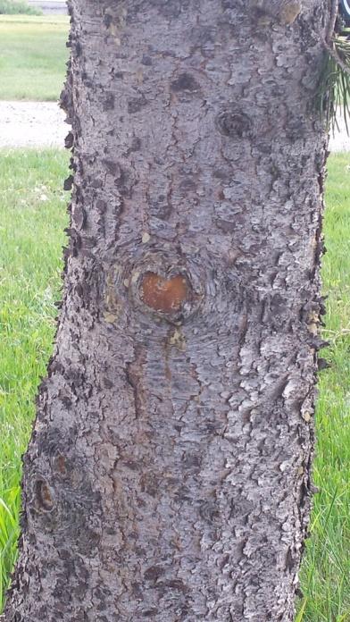 HeartTreeYosemite