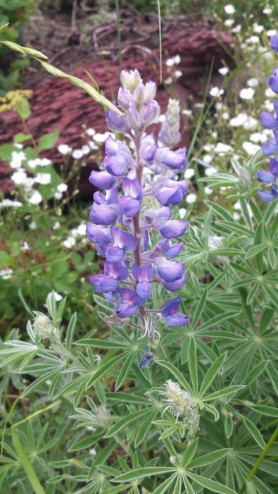 PurpleBlueWildflowerGlacierNP