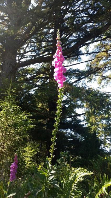 RedwoodsWildflower2