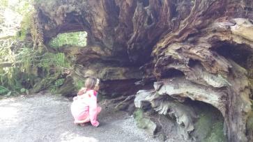 RootsOfRedwoodTree