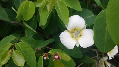 WhiteWildflower2GlacierNP