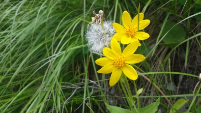 YellowWildflower2GlacierNP