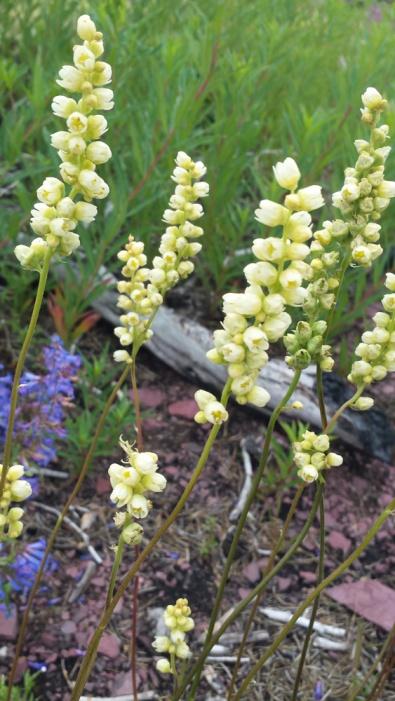 YellowWildflowersGlacierNP